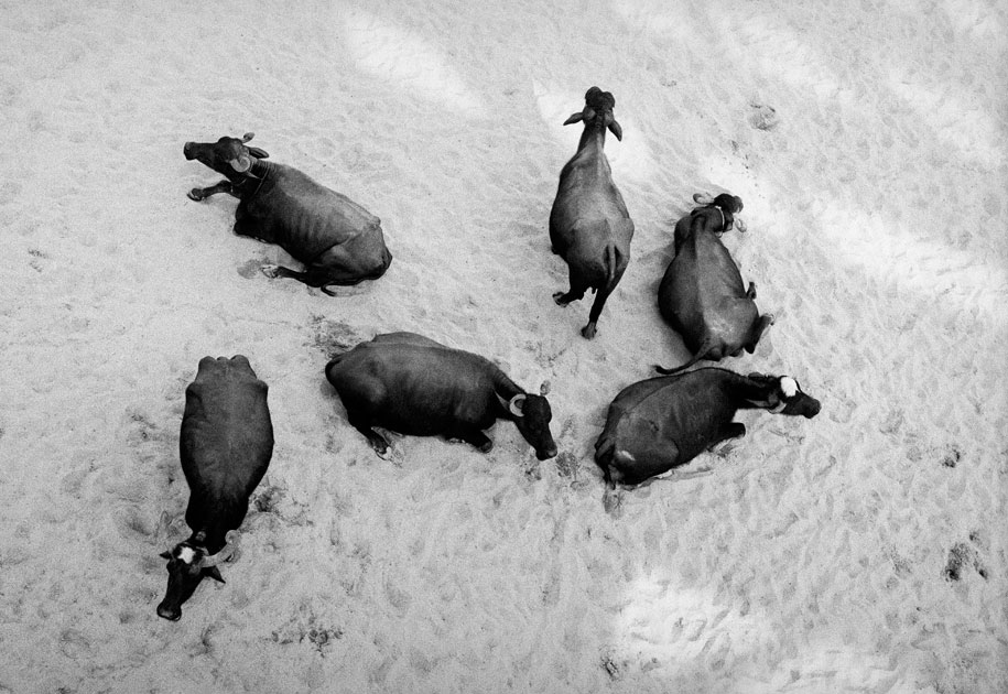 05_buffaloes.blackandwhite.india.jpg