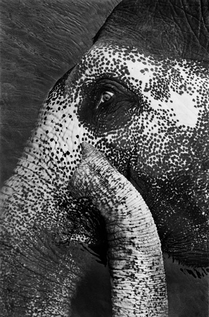 07_elephant.portrait.blackandwhite,india.jpg