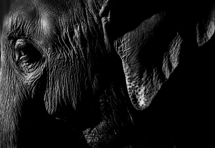10_elephant.portrait.blackandwhite.profile.india.jpg