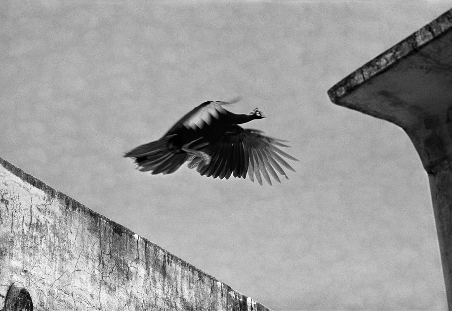 11_peacock.flying.rajasthan.india.blackandwhite.jpg